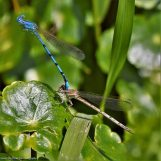 Damselfly Courting