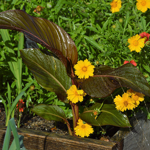 The yellow of the Tickseed accomplishes the dark color of the Canna Lily leaves.