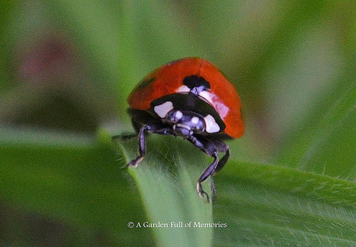 This lovely ladybug keeps the aphids at bay.