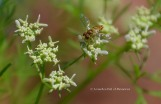 Hoverfly on Cilantro/Coriander Blossoms