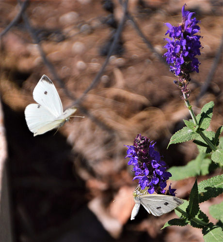 The Cabbage White female signals the male, she's ready for mating.