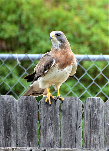 We had a Swainson's Hawk sitting on our fence, several years ago.