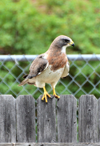 The Swainson's Hawk looks for a bird snack in our backyard. A mouse or a rat will do, too.