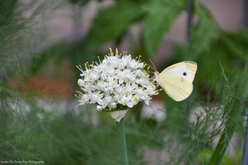 Cabbage White Butterfly on Onion Blossoms