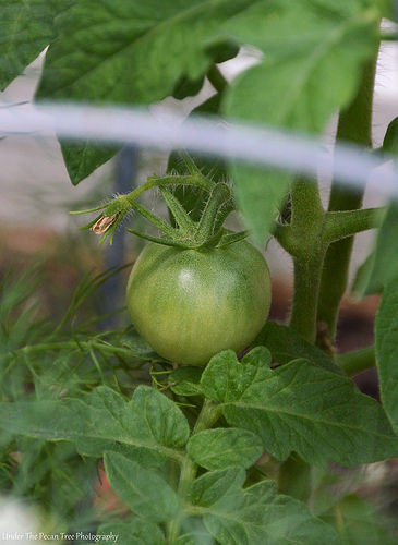 Another tomato; so far I have three 'maters growing in the raised bed.
