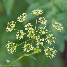 I let the Italian Parley bloom to attract Black Swallowtail Butterflies. When it gets warmer, the parsley will be an excellent host for Black Swallowtail Caterpillars.