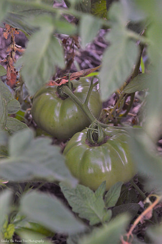 I'm stoked, I'm growing 'maters.