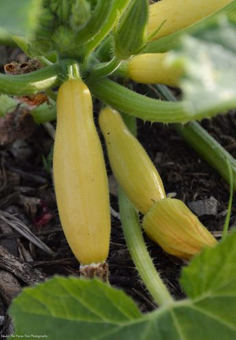 Yellow Summer Squashes
