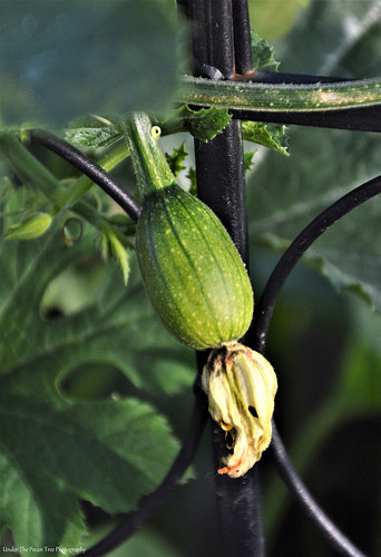 I think, this is a Tatume Squash. I have to confirm that with Christi. Her's has fruit already. Mine needs a little bit longer.