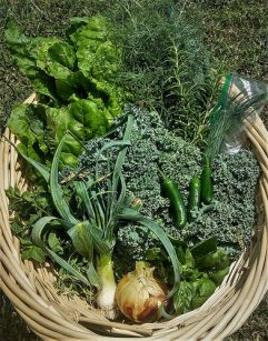 Today's bounty from the Community Garden, which will be donated to the pantry.