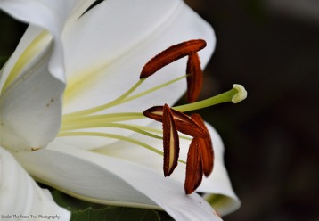 Close-up photo of the Lily's Filaments, Stamens, Style, and Stigma