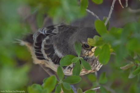 Hidden in the brushes of our Texas Sage sits a little juvenile Mockingbird.
