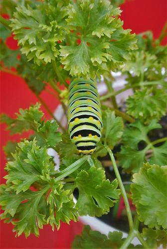 This Black Swallowtail Caterpillar came with the parsley from the local nursery.