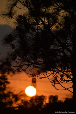 Pine Tree Silhouette Sunset