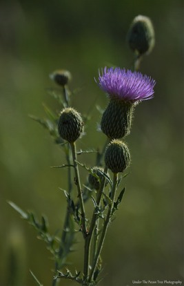 Plumed Thistle