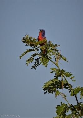 My first Painted Bunting sight at the Shoreline Trail