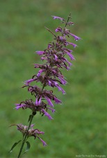 "Agastache ""Tutti Frutti"" Droplets"