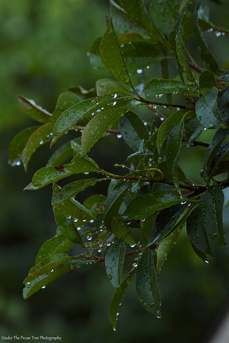 Photinia Droplets