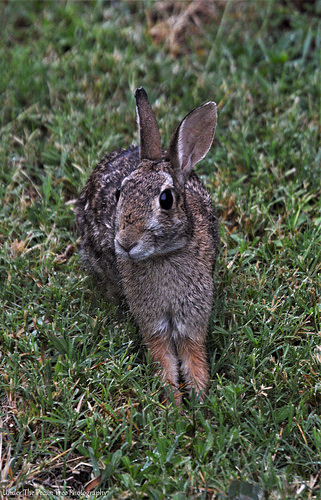 """Bunny Droplets ... JK ... But the Eastern Cottontail truly enjoyed the break from the heat. It sat there and watched me planting more peppers. """"Do you have some cabbage leaves for me?"""" ;)"""