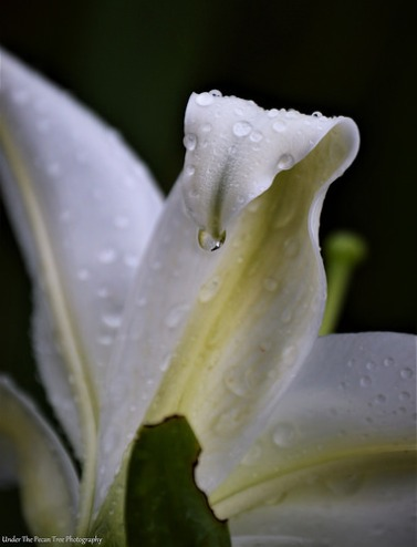 Lily Droplets