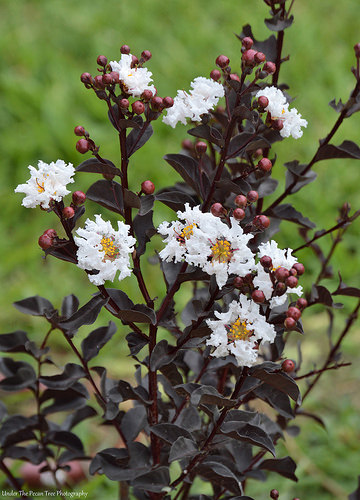 """Our """"Ebony & Ivory"""" Crape Myrtle started to blossom, today."""