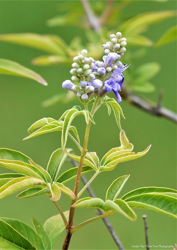 And our Vitex begins to bloom, too.