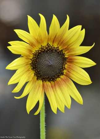 "Sunflowers are my second favorite flowers: I was happy to see this ""Autumn Beauty"" in bloom as well."