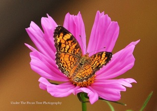 Pearl Crescent Butterfly on Cosmos (2014)