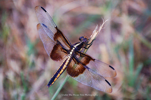 Widow Skimmer Dragonfly (2011)