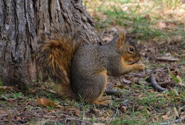 Fox Squirrel eats a pecan (2012)
