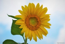 Garden Sunflower (2013)