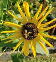Busy bee on sunflower
