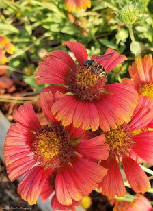 Another busy bee on the Indian Blanket/Firewheel