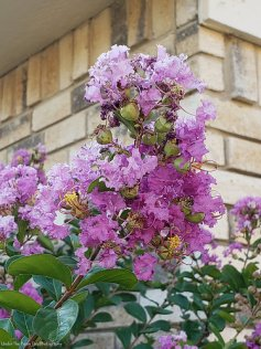 Neighbor's crape myrtle