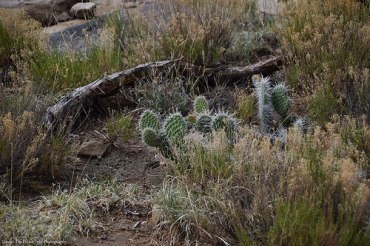 New Mexico cacti at the Pajarito Rest Area.