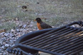 This American Robin looks for food at our camp ground.