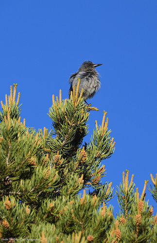Female Pinyon Jay sits high in the tree, while the males looked for food on the ground.