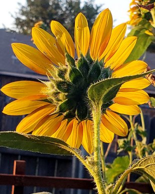 "One of my ""Autumn Beauty"" sunflowers is catching the last sun rays of the day."