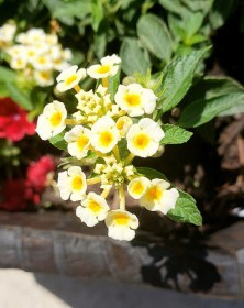 "Lantana ""Chapel Hill Yellow"""
