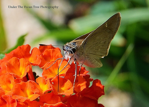 "Skipper on Lantana ""Dallas Red"""