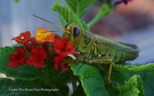 "Grasshopper on Lantana ""Dallas Red"""