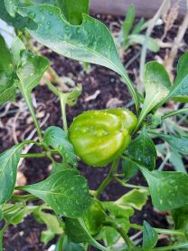 Sweet Bell Pepper