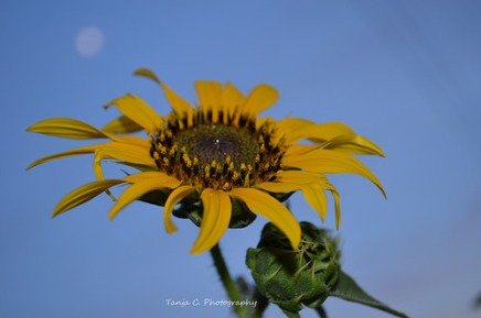 Common Sunflower with the Moon in the background