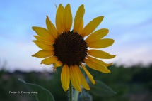 Common Sunflower in Summer sunset