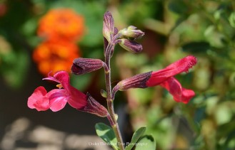Red Autumn Sage