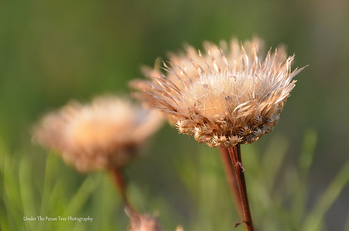 Wilted Texas Thistles in August 2013 (I)