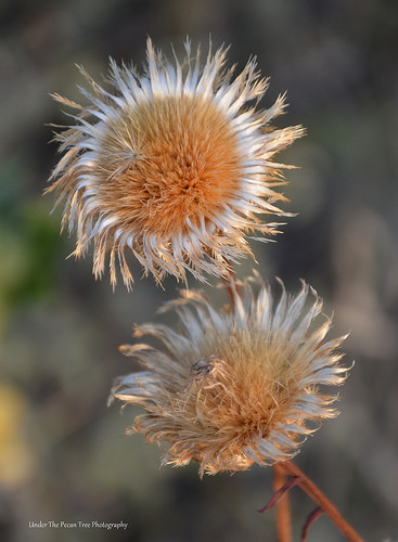 Wilted Texas Thistles in August 2013 (II)
