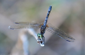 Thornbush Dasher Dragonfly (Micrathyria hagenii)