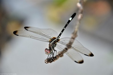 Twin-spotted Spiketail (Cordulegaster maculata)