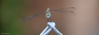 Female Blue Dasher Dragonfly (Pachydiplax longipennis)